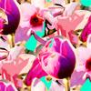 Tulip Exotic Mix (Original)