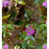 Lilac Flower and Foliage (Original)