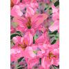 Flower Fuschia (Original)