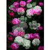 Dark Rose Blooms (Original)